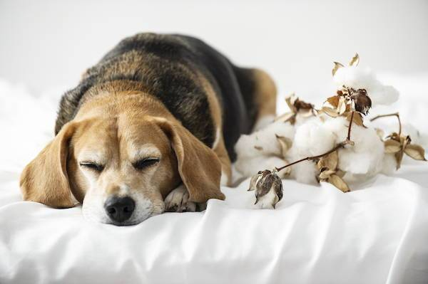 Cute dog sleeping with cotton