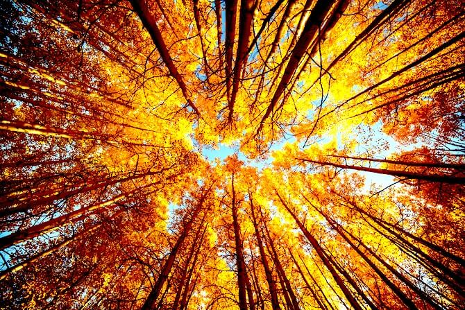 Yellow Forest Trees