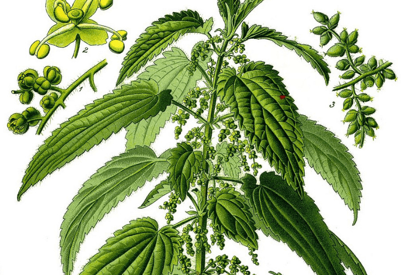 stinging nettle plant factsheet